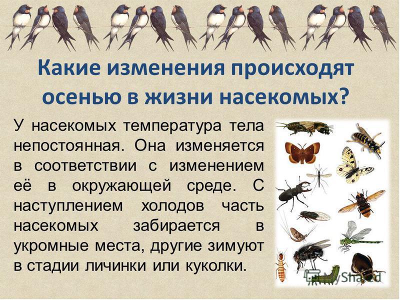 Какие изменения происходят осенью в жизни насекомых? У насекомых температура тела непостоянная. Она изменяется в соответствии с изменением её в окружающей среде. С наступлением холодов часть насекомых забирается в укромные места, другие зимуют в стад