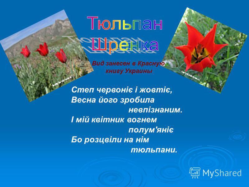 Вид занесен в Красную книгу Украины Степ червоніє і жовтіє, Весна його зробила невпізнаним. І мій квітник вогнем полум'яніє Бо розцвіли на нім тюльпаны.