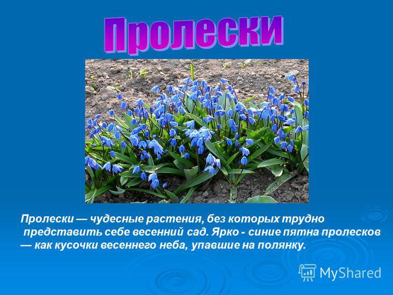 Пролески чудесные растения, без которых трудно представить себе весенний сад. Ярко - синие пятна пролесков как кусочки весеннего неба, упавшие на полянку.