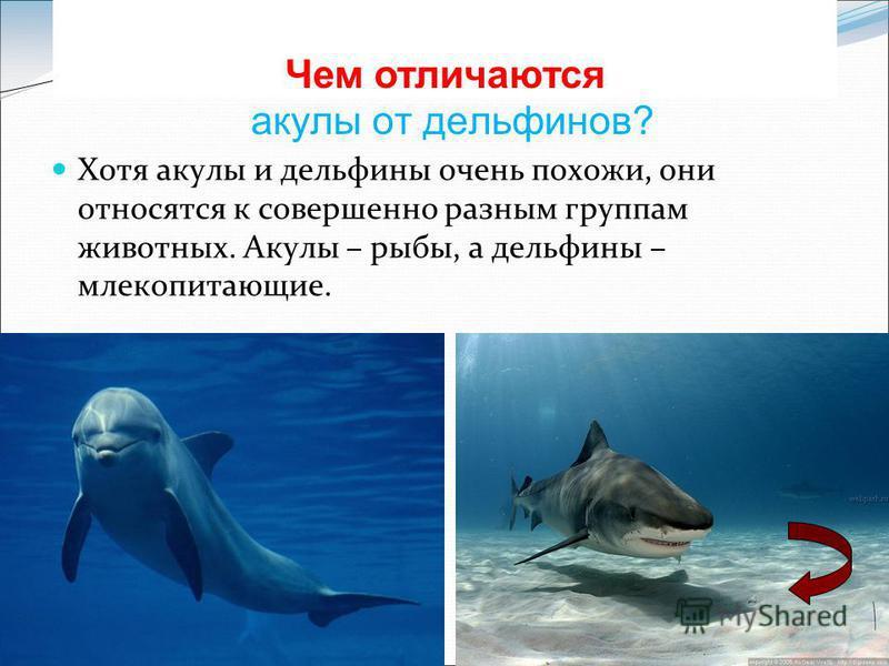 акулы от дельфинов? Хотя акулы и дельфины очень похожи, они относятся к совершенно разным группам животных. Акулы – рыбы, а дельфины – млекопитающие. Чем отличаются