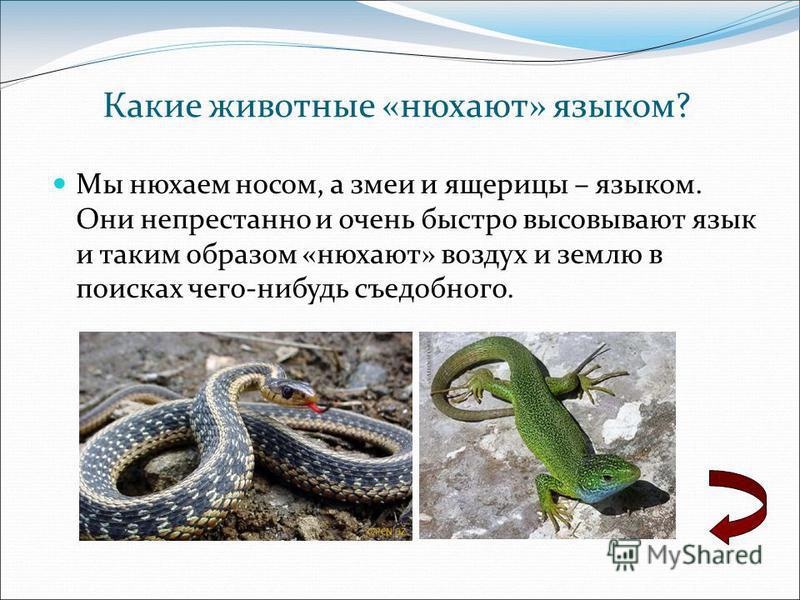 Мы нюхаем носом, а змеи и ящерицы – языком. Они непрестанно и очень быстро высовывают язык и таким образом «нюхают» воздух и землю в поисках чего-нибудь съедобного. Какие животные «нюхают» языком?
