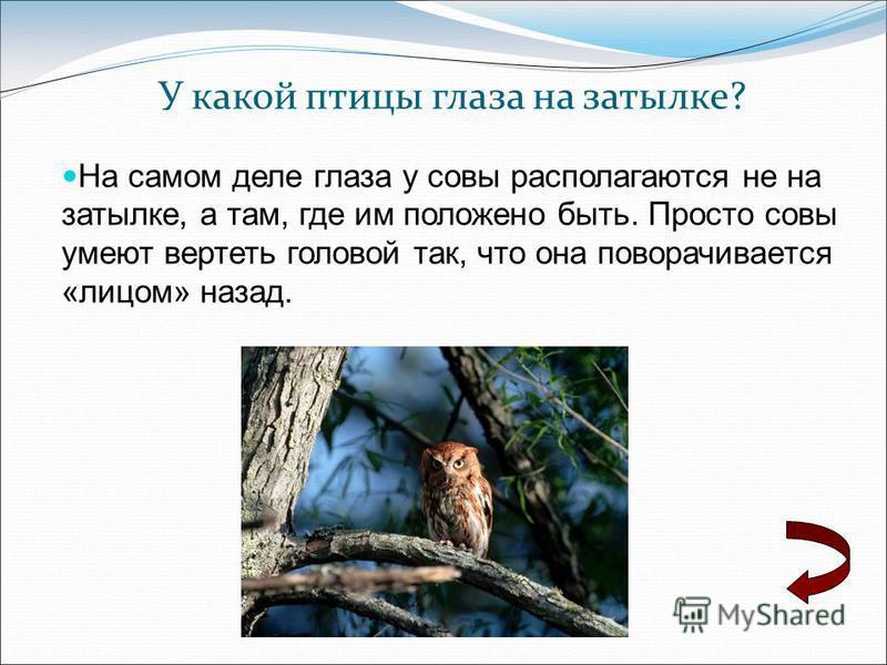 У какой птицы глаза на затылке? На самом деле глаза у совы располагаются не на затылке, а там, где им положено быть. Просто совы умеют вертеть головой так, что она поворачивается «лицом» назад.