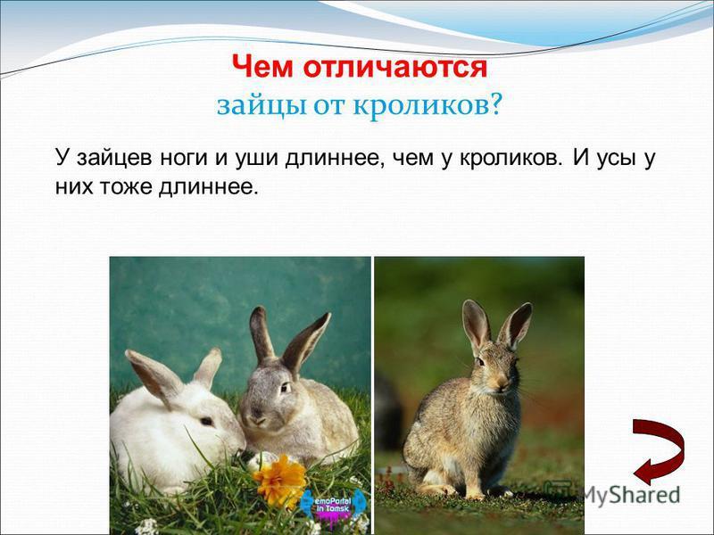 Чем отличаются зайцы от кроликов? У зайцев ноги и уши длиннее, чем у кроликов. И усы у них тоже длиннее.