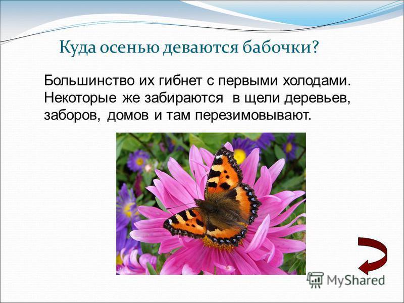 Куда осенью деваются бабочки? Большинство их гибнет с первыми холодами. Некоторые же забираются в щели деревьев, заборов, домов и там перезимовывают.