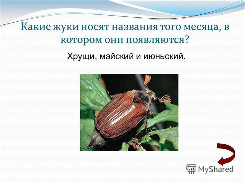 Какие жуки носят названия того месяца, в котором они появляются? Хрущи, майский и июньский.