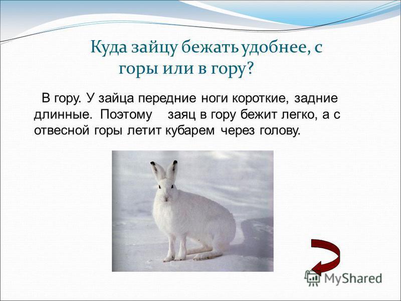 Куда зайцу бежать удобнее, с горы или в гору? В гору. У зайца передние ноги короткие, задние длинные. Поэтому заяц в гору бежит легко, а с отвесной горы летит кубарем через голову.