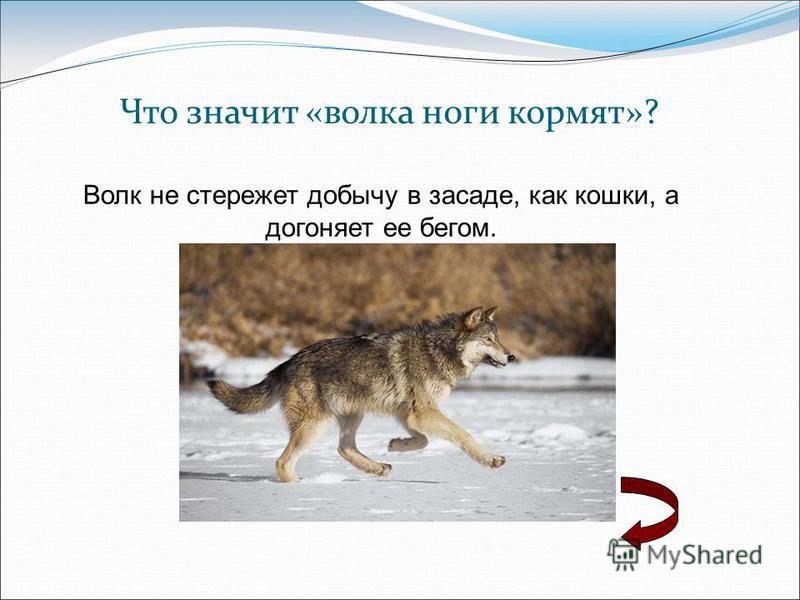 Что значит «волка ноги кормят»? Волк не стережет добычу в засаде, как кошки, а догоняет ее бегом.