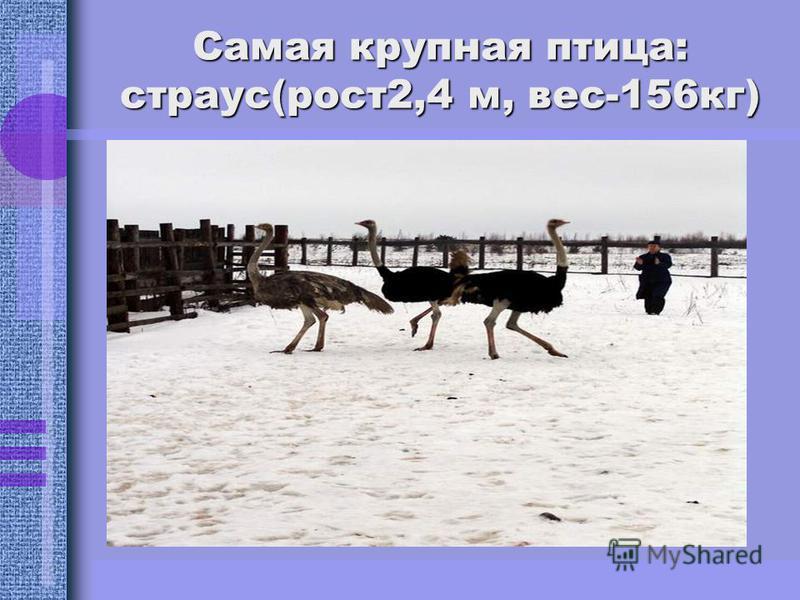 Самая крупная птица: страус(рост 2,4 м, вес-156 кг)