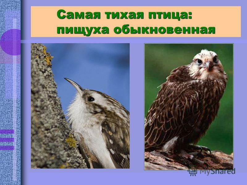 Самая тихая птица: пищуха обыкновенная