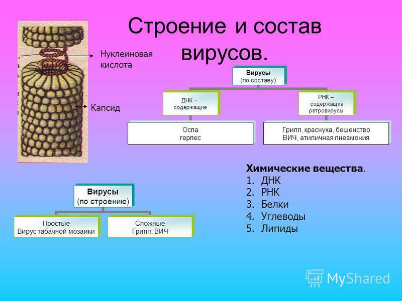 Строение и состав вирусов. Капсид Нуклеиновая кислота Химические вещества. 1. ДНК 2. РНК 3. Белки 4. Углеводы 5.Липиды