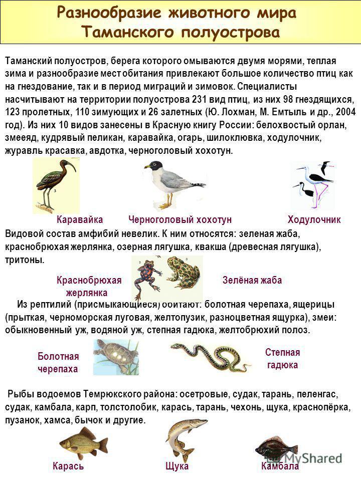 Разнообразие животного мира Таманского полуострова Таманский полуостров, берега которого омываются двумя морями, теплая зима и разнообразие мест обитания привлекают большое количество птиц как на гнездование, так и в период миграций и зимовок. Специа