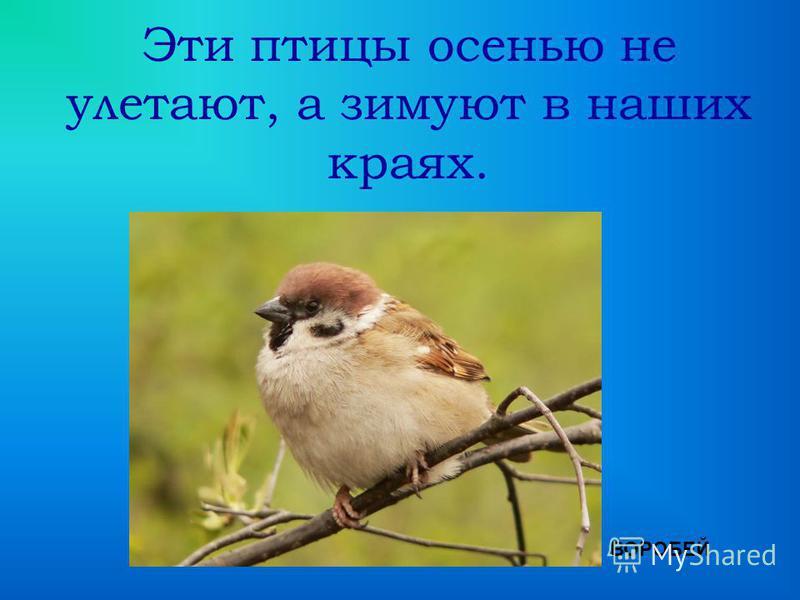 Эти птицы осенью не улетают, а зимуют в наших краях. ВОРОБЕЙ