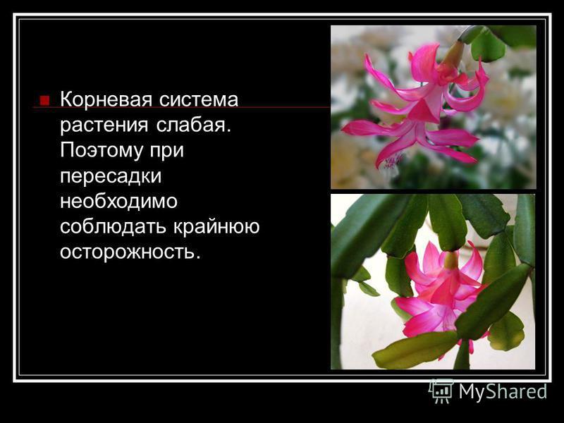 Корневая система растения слабая. Поэтому при пересадки необходимо соблюдать крайнюю осторожность.