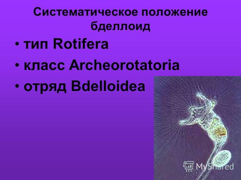 Систематическое положение бделлоид тип Rotifera класс Archeorotatoria отряд Bdelloidea