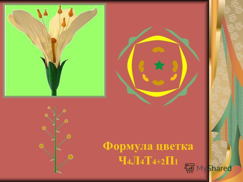 Формула цветка Ч 4 Л 4 Т 4+2 П 1