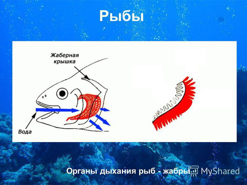 Рыбы Органы дыхания рыб - жабры