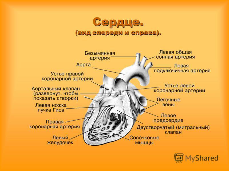 Сердце. (вид спереди и справа).