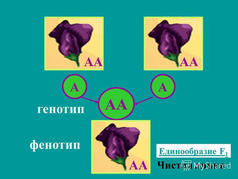 АА АА генотип фенотип Единообразие F 1 АА Чистая линия