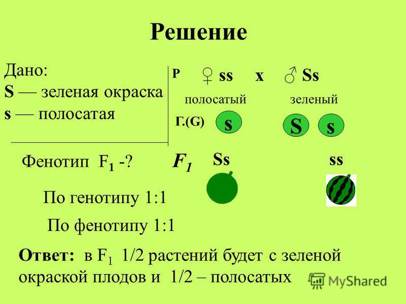 Дано: S заленая окраска s полосатая Фенотип F 1 -? Р ss Ssх полосатый заленый S s s Ss ss Ответ: в F 1 1/2 растений будет с заленой окраской плодов и 1/2 – полосатых Решение Г.(G) F1F1 По генотипу 1:1 По фенотипу 1:1