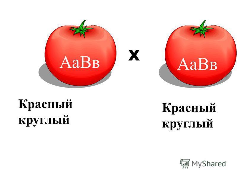 Аа Вв F1F1 Х Красный круглый Красный круглый Аа Вв