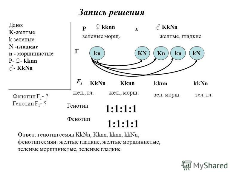 Запись решения Дано: K-желтые k заленые N -гладкие n - мороинистые Р- - kknn - KkNn Фенотип F 1 - ? Генотип F 1 - ? Р kknn KkNn х заленые моро.желтые, гладкие F1 F1 knKnkn Г KNkN KkNn жел., гл. Kknn жел., моро. kknn зал. моро. kkNn зал. гл. Генотип 1