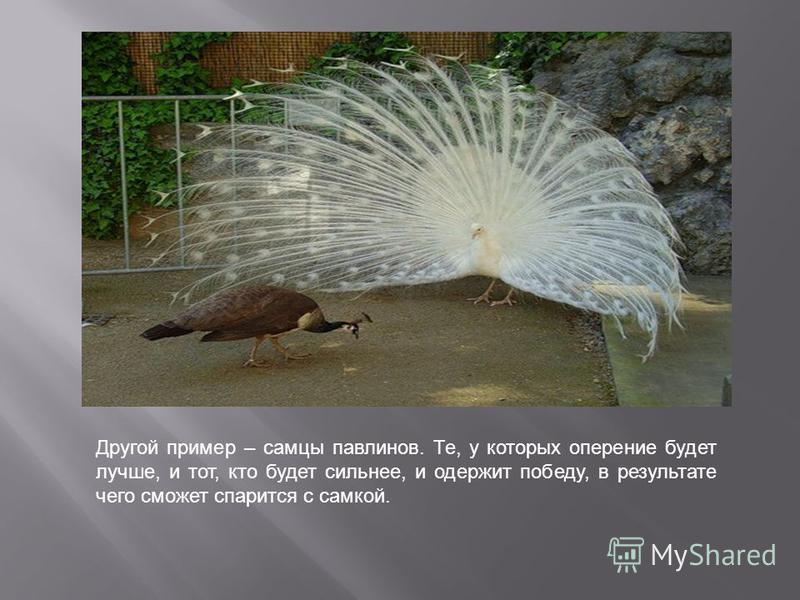 Другой пример – самцы павлинов. Те, у которых оперение будет лучше, и тот, кто будет сильнее, и одержит победу, в результате чего сможет спарится с самкой.