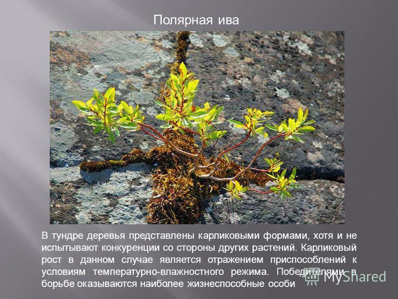 Полярная ива В тундре деревья представлены карликовыми формами, хотя и не испытывают конкуренции со стороны других растений. Карликовый рост в данном случае является отражением приспособлений к условиям температурно-влажностного режима. Победителями