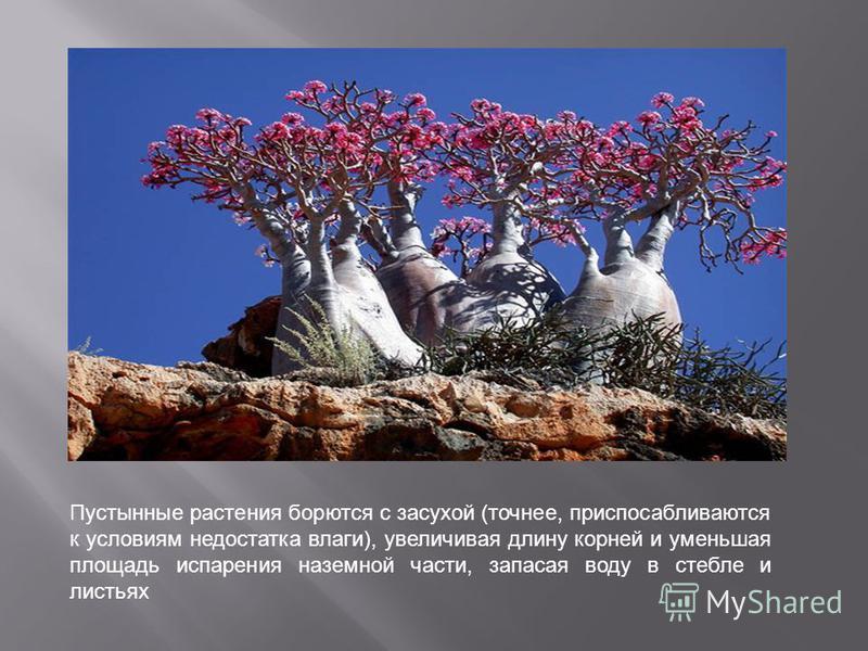Пустынные растения борются с засухой (точнее, приспосабливаются к условиям недостатка влаги), увеличивая длину корней и уменьшая площадь испарения наземной части, запасая воду в стебле и листьях