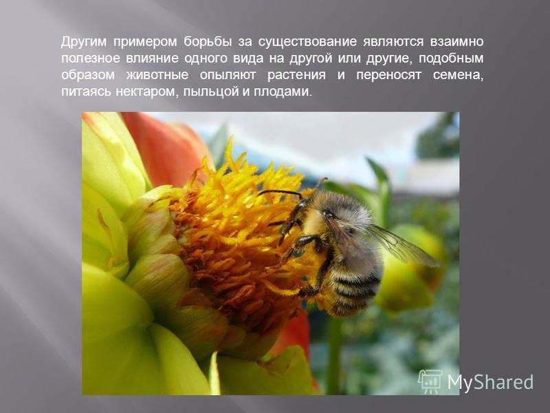 Другим примером борьбы за существование являются взаимно полезное влияние одного вида на другой или другие, подобным образом животные опыляют растения и переносят семена, питаясь нектаром, пыльцой и плодами.