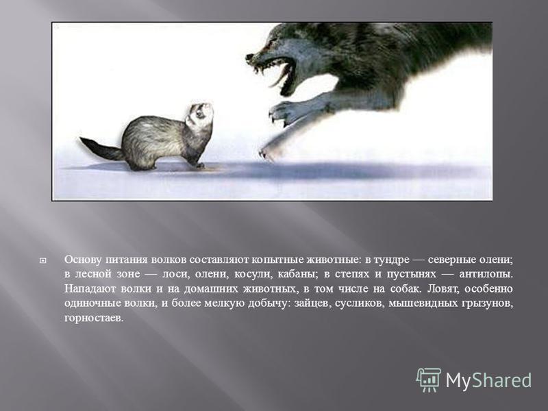 Основу питания волков составляют копытные животные : в тундре северные олени ; в лесной зоне лоси, олени, косули, кабаны ; в степях и пустынях антилопы. Нападают волки и на домашних животных, в том числе на собак. Ловят, особенно одиночные волки, и б