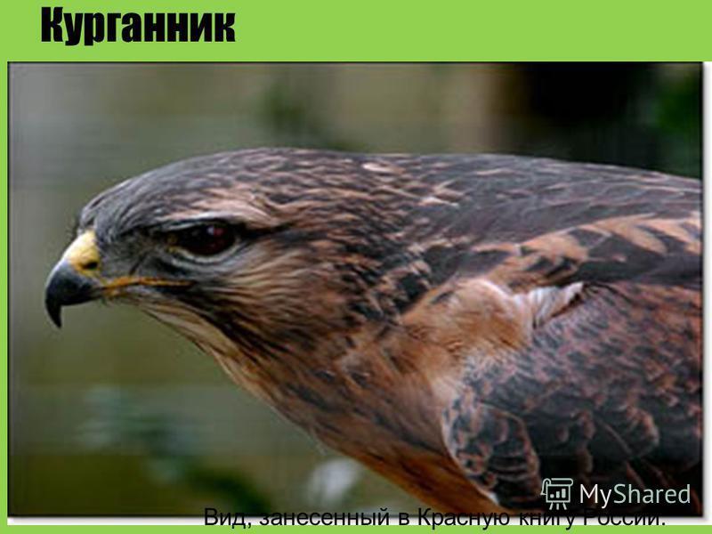 Курганник Вид, занесенный в Красную книгу России.