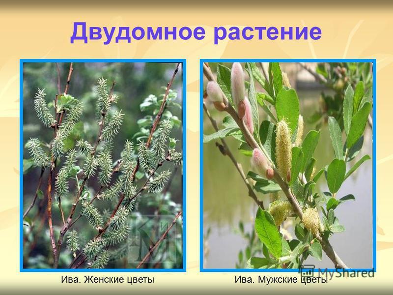 Ива. Женские цветы Ива. Мужские цветы Двудомное растение
