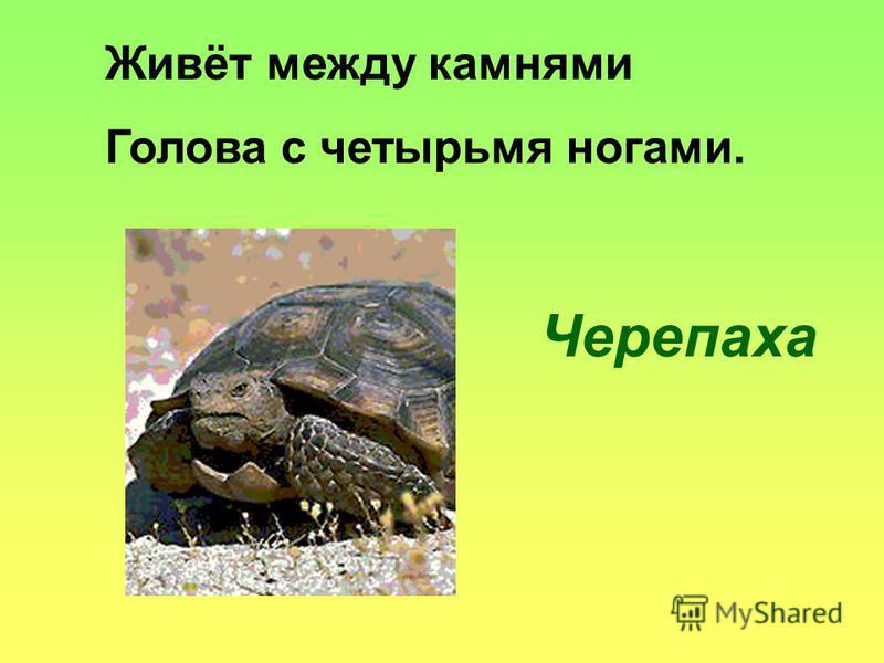 Живёт между камнями Голова с четырьмя ногами. Черепаха