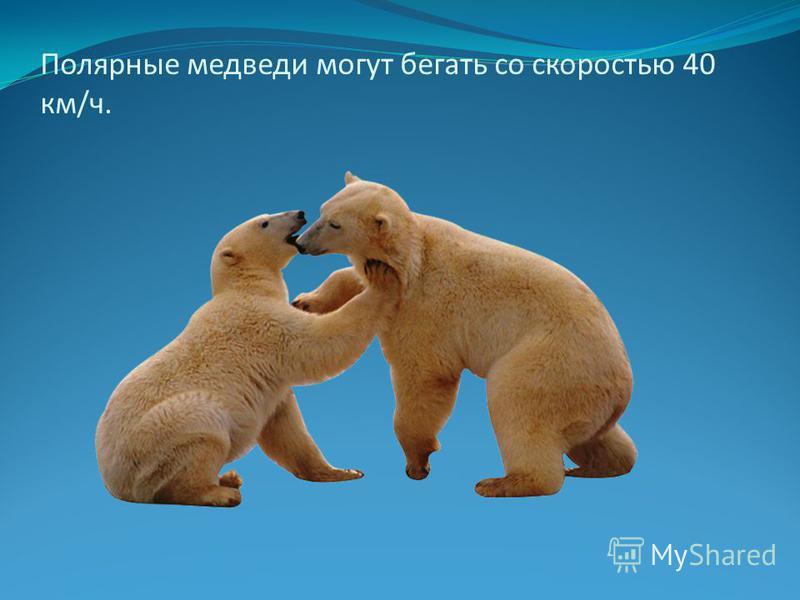 Полярные медведи могут бегать со скоростью 40 км/ч.
