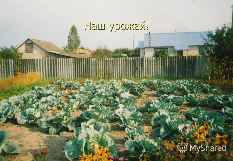 Наш урожай!
