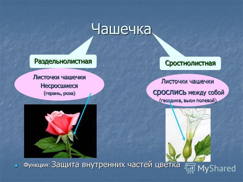 Чашечка Функция: Защита внутренних частей цветка Функция: Защита внутренних частей цветка Раздельнолистная Сростнолистная Листочки чашечки Несросшиеся (герань, роза) Листочки чашечки срослись между собой срослись между собой (гвоздика, вьюн полевой)
