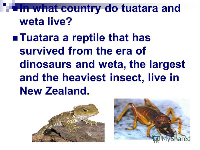 In what country do tuatara and weta live? Tuatara a reptile that has survived from the era of dinosaurs and weta, the largest and the heaviest insect, live in New Zealand.