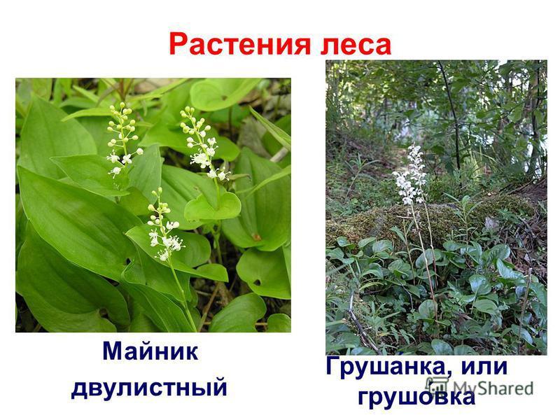 Растения леса Майник двулистный Груша́ника, или груша́века