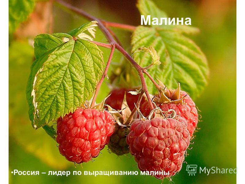 Малина Россия – лидер по выращиванию малины