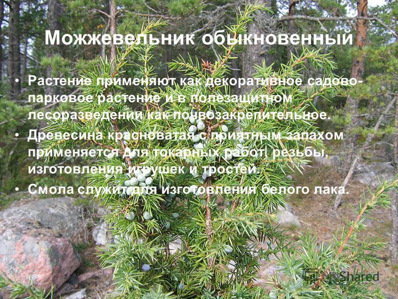 Можжевеельник обыкновенный Растение применяют как декоративное садово- парковое растение и в полезащитном лесоразведении как почвозакрепительное. Древесина красноватая с приятным запахом применяется для токарных работ, резьбы, изготовления игрушек и