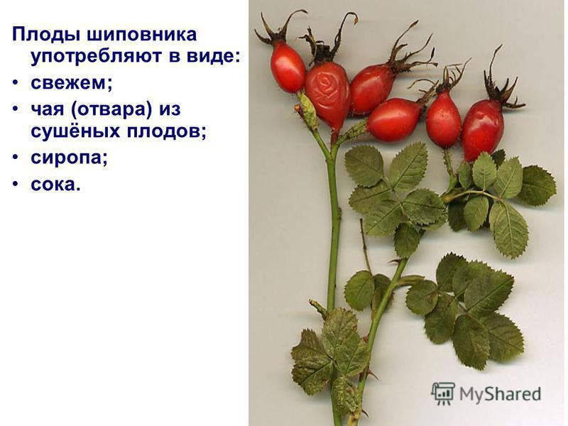 Плоды шиповника употребляют в виде: свежем; чая (отвара) из сушёных плодов; сиропа; сока.