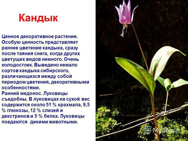 Кандык Ценное декоративное растение. Особую ценность представляет раннее цветение кандыка, сразу после таяния снега, когда других цветущих видов немного. Очень холодостоек. Выведено немало сортов кандыка сибирского, различающихся между собой периодом