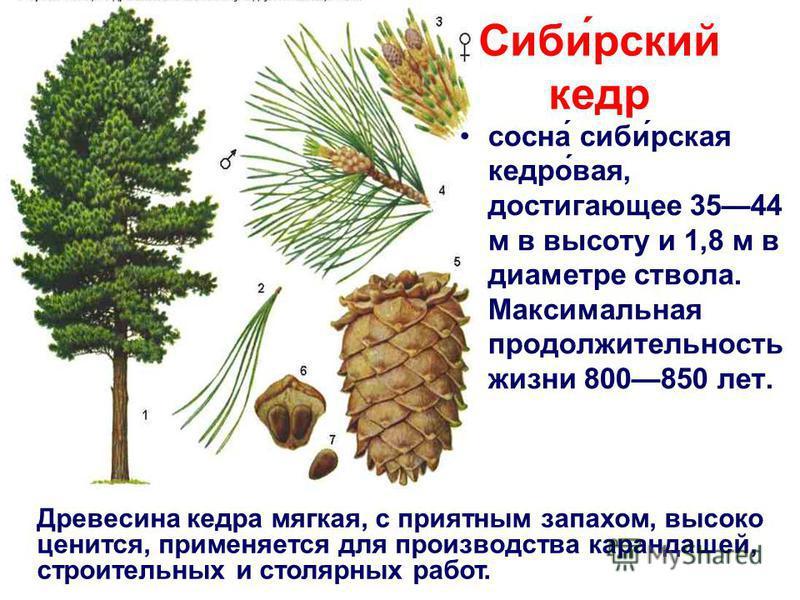 Сиби́русский кедр сосна́ сиби́рская кедра́вайя, достигающее 3544 м в высоту и 1,8 м в диаметре ствола. Максимальная продолжительность жизни 800850 лет. Древесина кедра мягкая, с приятным запахом, высоко ценится, применяется для производства карандаше