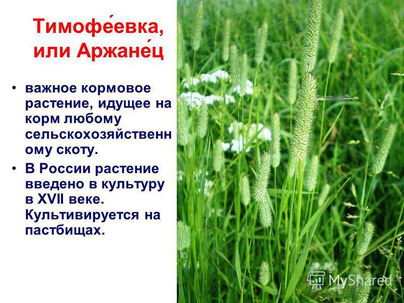 Тимофе́века, или Аржане́ц важное кормовое растение, идущее на корм любому сельскохозяйственному скоту. В России растение введено в культуру в XVII веке. Культивируется на пастбищах.