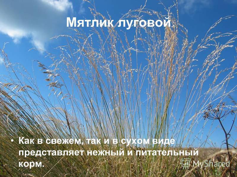 Мятлик луговой Как в свежем, так и в сухом виде представляет нежный и питательный корм.