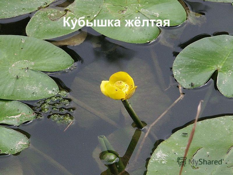 Кубы́шкафф жёлтая