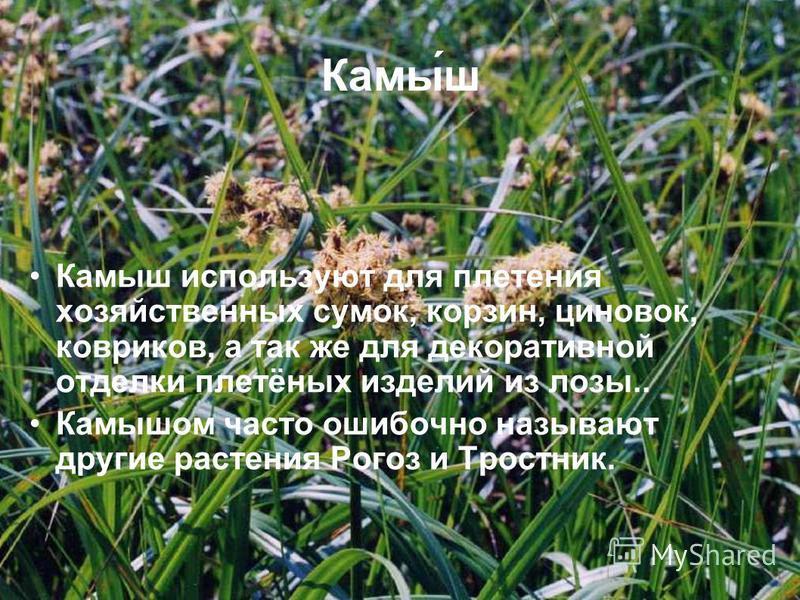 Камы́ш Камыш используют для плетения хозяйственных сумок, корзин, циновок, ковриков, а так же для декоративной отделки плетёных изделий из лозы.. Камышом часто ошибочно называют другие растения Рогоз и Тростник.