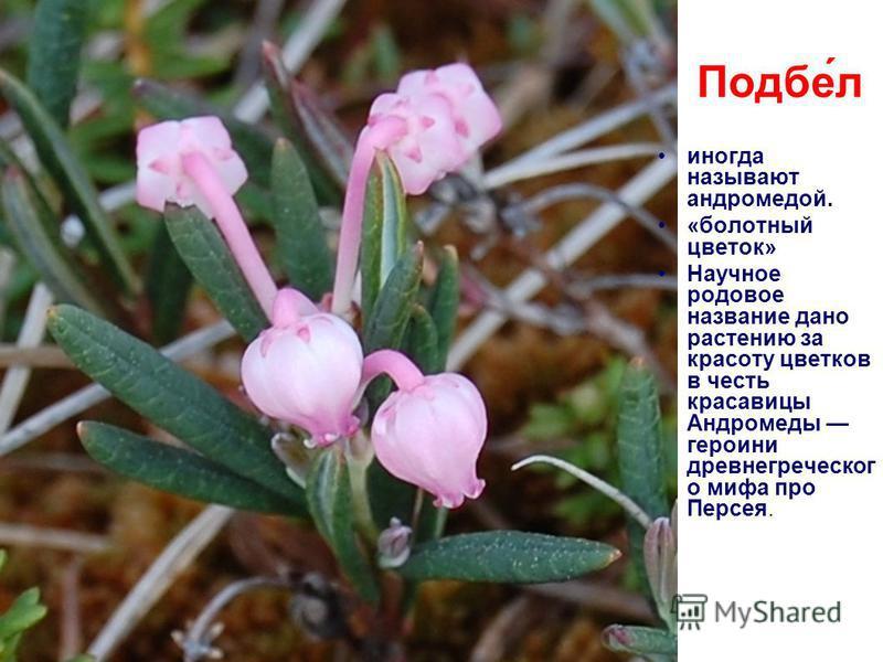 Подбе́л иногда называют андромедой. «болотный цветок» Научное родовое название дано растению за красоту цветков в честь красавицы Андромеды героини древнегреческого мифа про Персея.