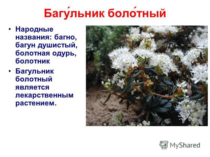 Багу́еельник боло́тный Народные названия: багно, багун душистый, болотная одурь, болотник Багуеельник болотный является лекарственным растением.