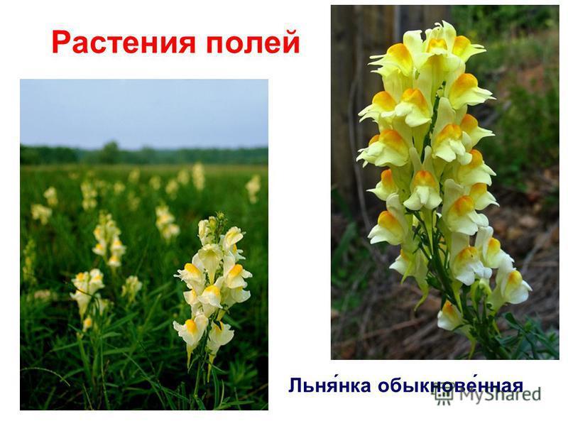 Растения полей Льня́нка обыкнове́нная